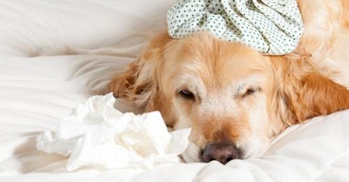 sintomas-perros-fiebre