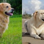 Diferencias entre Labrador Retriever y Golden Retriever